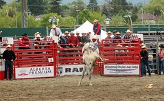 White horse can jump ... (auntiekelliephotography) Tags: horse canada bareback cowboy boots jr canadian have riding rodeo pepsi wyoming must cloverdale bronc cowley brahma bucking 2016 vesain
