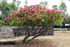 Floreado 02 (supernova.gdl.mx) Tags: mexico arbol flor zona cuernavaca morelos arqueologica teopanzolco