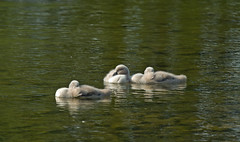 Schwanenbabys (rieblinga) Tags: park see wasser sommer schwan schlaf kcken