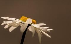 Marguerite (Yasmine Hens) Tags: flower fleur europa flickr belgium sony ngc marguerite namur hens yasmine wallonie iamflickr flickrunitedaward sonyrx10m3 hensyasmine
