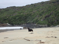 Hooker's sea lion at Sealers Bay (dracophylla) Tags: newzealand codfishisland hookerssealion phocarctoshookeri newzealandsealion whenauhoa