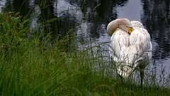 sleeping swan (MH *) Tags: sleeping white green water grass see swan wasser feathers gras schlafend grn schwan baggersee weis kndringen d7200 fesern