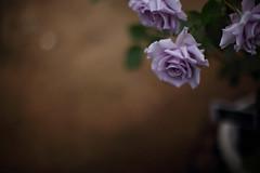 Purple Rose (/KENTAMA) Tags: blue flower rose purple bokeh may    nikkor50mmf12