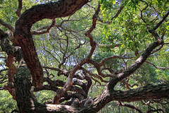 Angel Oak in Charleston (kevinwenning) Tags: park old tree leaves ancient unitedstates branches southcarolina limbs oaktree oldest angeloak wenning oldestoaktree kevinwenning intentionallylostcom