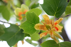 American tulip tree (flowers) (qooh88) Tags: flower green leaf     americantuliptree