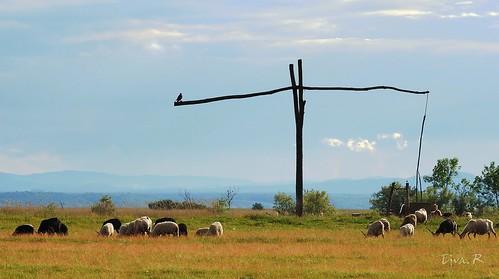 Shadoof Gémeskút / The Hungarian Racka sheep (Ovis aries strepsiceros hungaricus)  A magyar racka juhok (Ovis aries strepsiceros hungaricus)