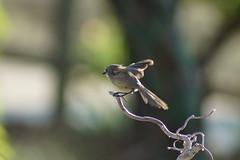 Bushtit (Psaltriparus minimus) (bentspur) Tags: birds animals bushtit psaltriparusminimus americanbushtit