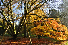 They call me mellow yellow (charlottehbest) Tags: november autumn trees colours arboretum gloucestershire autumncolours westonbirt autumnal westonbirtarboretum 2015 charlottehbest