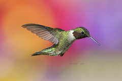 MALE RUBY-THROAT - 602a (AIR BUS) Tags: nature birds wildlife birdsinflight avian rubythroatedhummingbird alexborbely
