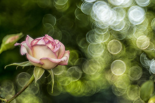 Rosa e Domiplan