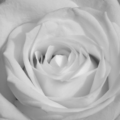 La rose blanche (G. Lang) Tags: blackandwhite bw white monochrome rose blackwhite noiretblanc blanc weis einfarbig schwarzweis sonya7ii sonyilce7m2 sonyalpha7ii