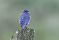 Holuskotta-Western Bluebird-Sialia mexicana (sigmundurasgeirsson) Tags: westernbluebird sialiamexicana holuskotta