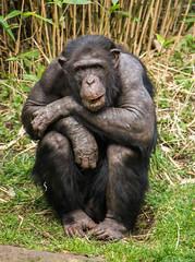 Sitting comfortably! (jane.renton) Tags: chimpanzee edinburghzoo