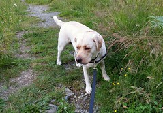Gracie on the path to home (walneylad) Tags: summer dog pet cute june puppy gracie lab labrador canine labradorretriever
