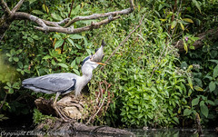 Grey Heron Swallowing Fish (cconnor124) Tags: heron nature canoneos waterbirds naturephotography greyheron wildbirds birdphotography uknature largebirds carrmilldam canon100400lens