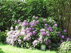 1408 Rhododendron (Andy panomaniacanonymous) Tags: 20160527 fff flowers gardenflower ggg pink ppp rhododendron rrr