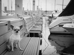 Chelly (StoryofLove Chihuahuas) Tags: chihuahua cachorro chihuahuas cute cahorrito cool perrito puppi puppie puppy perro pet pets pupie port puerto barcelona water