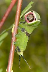 Puss Moth Caterpillar (Kentish Plumber) Tags: uk macro nature insect kent europe wildlife moth july caterpillar southern southeast nikkor visitorcentre southernengland weald 2016 kwt d610 pussmoth ceruravinula kentwildlifetrust 1050mmf28