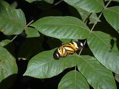 DSC04661 (familiapratta) Tags: nature insect iso100 sony natureza insects inseto insetos hx100v dschx100v