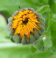 Breaking-free (gomosh2) Tags: calendula flowerbud flowermacro