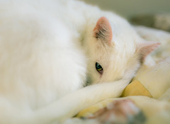 Nap time (Arutemu) Tags: portrait pets blur animal animals cat canon furry dof bokeh kitty sigma shelter    petportrait 6d   sigma50mm  eos6d canon6d  sigma50mmf14dghsmart