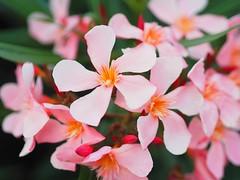 Summer (vahiinee) Tags: pink flowers summer flower nature fleur rose fleurs plante garden bokeh olympus olympuspen southoffrance olympuscamera bokehbeyond beyondbokeh getolympus mzuiko45mm mzuiko45 naturefocus epl7