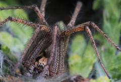 Spinne (kaistaudinger) Tags: canon spinne augen 700 makro tamron 90mm blatt insekt netz haare
