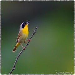 Common Yellowthroat (EXPLORE, June 30 #174) (RKop) Tags: a77mk2 600mmf4apogminolta armlederpark cincinnati ohio sony raphaelkopanphotography warblers warbler