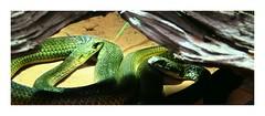 Schlangen im Dortmunder Tierpark (One-Basic-Of-Art) Tags: dortmund tierpark dortmundertierpark zoo schlangen snake 1basicifart annewoyand serpent serpents schlange snakes grn rahmen