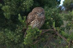 Australian Owl (Joybelle007) Tags: owl australianbird beautiful feathers barkingowl nikon d90 nature