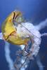 Jellyfish (Soapbox Girl (Carol Anne)) Tags: fish aquarium jellyfish aquaticlife adventureaquarium newjerseyaquarium adventureaquariumcamdennj