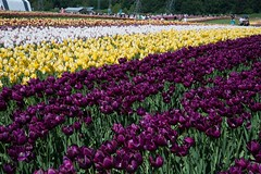 DSC_3961 (Copy) (pandjt) Tags: ca flowers canada bc britishcolumbia tulip abbotsford tulipfestival abbotsfordtulipfestival