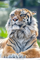 Khunde  - It's A Great Day (Harimau Kayu (AKA Sumatra-Tiger)) Tags: animal japan swimming cat wonderful asian mammal zoo tokyo spain feline king ueno fierce tiger beast bathing sendai predator independenceday tijger carnivorous tigris rembrandt tigre bigcats sumatran fuengirola mouser grimalkin the predatory spaniard  predetor uenozoologicalgardens fierceanimal flesheating toodarnhot sumatratiger tygr tiikeri  flehmen pantheratigrissumatrae sumatraansetijger flehmenresponse the4thofjuly rembrandtlighting asiancat tigredesumatra khunde  sumatrantiikeri flickrbigcats harimausumatera bathingtiger sumatrakaplan tygrsumatersk tygryssumatrzaski  szumtraitigris       hsumatra nobeastsofiercebut kingoftheenclosure higashiyamazoologicalgardens yagiyamazoologicalgardens