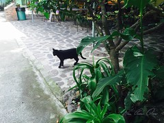 Black Cat Strolls through LCS Grounds (Englishirises) Tags: copyright blackcat mexico jalisco grounds allrightsreserved ajijic gatonegro axixic terrenos lahuerta lakechapalasociety iwatermark deseptiembre purvinoliner