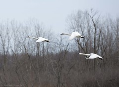 Tundra Swan M (martinaschneider) Tags: trees ontario bird birds swan flight bluesky tundraswan alymer