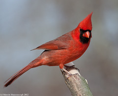 Posing northern cardinal (v4vodka) Tags: newyork bird nature animal cardinal wildlife birding longisland birdwatching cardinaliscardinalis redbird northerncardinal commoncardinal kardynal kardynalek