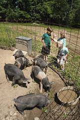 Baby bacons (grilljam) Tags: summer seamus ewan cato piggies 4yrs 65yrs june2016 swangofarm babybacons