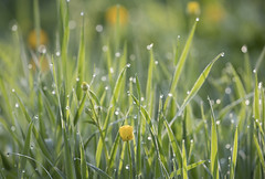 Scotland. (richard.mcmanus.) Tags: scotland scottishhighlands buttercups plants grass dew nature mcmanus gettyimages