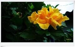 Hibiscus amarillo de verano...P1130155P (gtercero) Tags: amarillo hibiscus verano gtercero 20150926