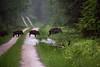 Crossing (Theo Bauhuis) Tags: wild nature netherlands wildlife nederland natuur boar regen zwijn loenen everzwijn gelders