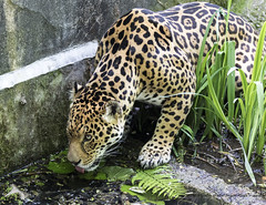 Watchful (The Original Happy Snapper) Tags: water animal cat mammal zoo dangerous pattern outdoor watching drinking spots bigcat jaguar endangered carnivore pantheraonca dartmoorzoo