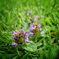 Selfheal (velodenz) Tags: uk england plant flower nature fleur digital photography photo flora bath image britain united great flor picture kingdom pic photograph bloom fujifilm fiori fiore phot blum x30 flore selfheal bnes banes velodenz