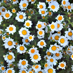 Another Year to Grow Them (Thomas Hawk) Tags: california flowers usa flower cemetery daisies america oakland unitedstates unitedstatesofamerica daisy eastbay mountainviewcemetery fav10