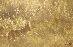 Black-backed Jackal- Kruger National Park, South Africa (wsweet321) Tags: africa bird nature southafrica mammal birding safari research endangered krugernationalpark kruger satara bigfive skukuza knp lowersabie