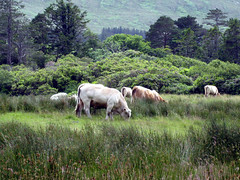 Cattle at Kylemore Abbey, County Galway (midvale2) Tags: ireland kylemore