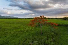 Flamboyant Solitario... (Almodovar Photography) Tags: sunset nature puertorico solitario caborojo flamboyan naturelover lajas