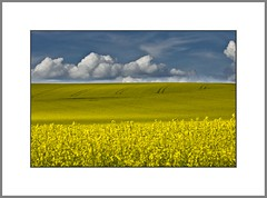 Der Raps blht..  (rape flowers..) (alfred.hausberger) Tags: blue field yellow bavaria spring feld rape gelb lower blau raps frhling niederbayern rapsfeld rottal updatecollection