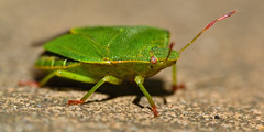 Green shield bug. (MACRO Polo) Tags: green bug shield stink
