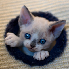 Coming Up 2 (peter_hasselbom) Tags: blue cats cat circle 50mm kitten blueeyes flash kittens round devonrex bicolor 5weeksold inahole 1flash siammasked drxa0333