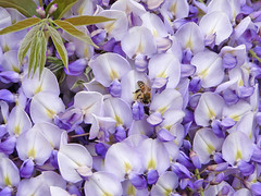 At Marketplace (Marco Di Fabio) Tags: flowers flores flower verde green foglie hojas petals purple market flor bee mercado polen ape marketplace pollen fiori fabaceae abeja leafs fiore viola petali mercato wisteria corolla petalos glicine polline glicinia